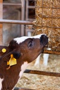 calf-eating-hay